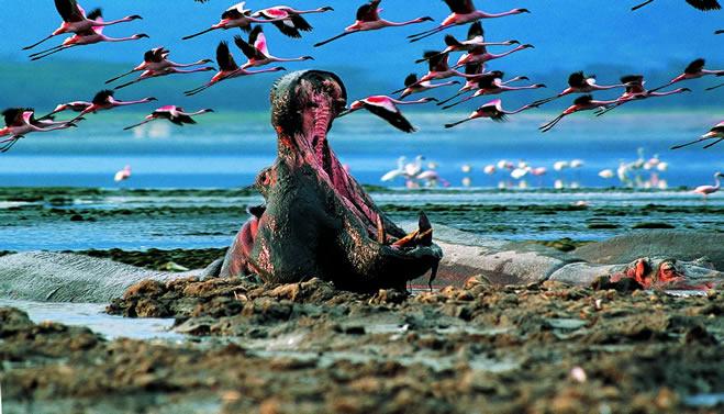 Hippos of Lake Nakuru